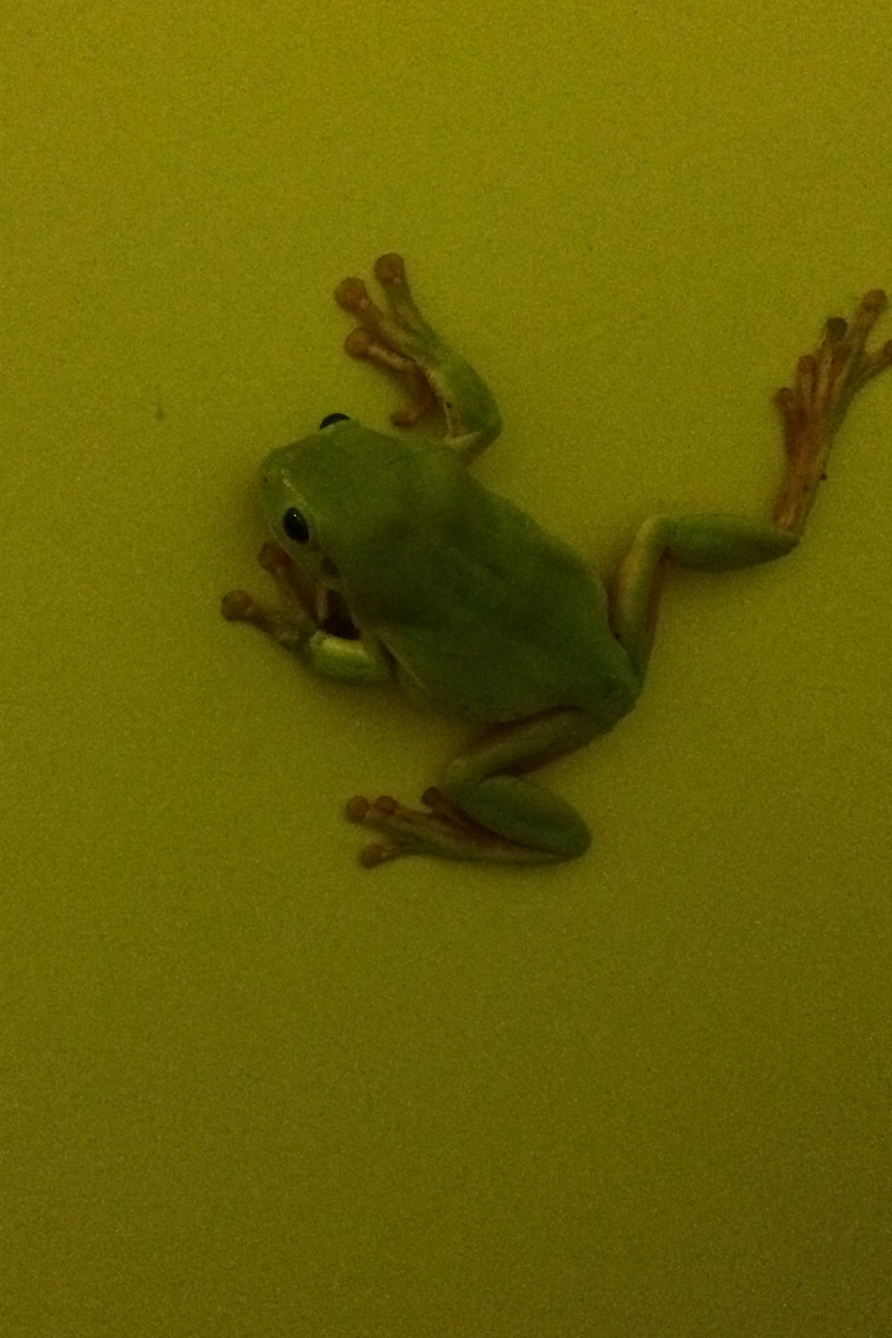 Toilet Frog Two.