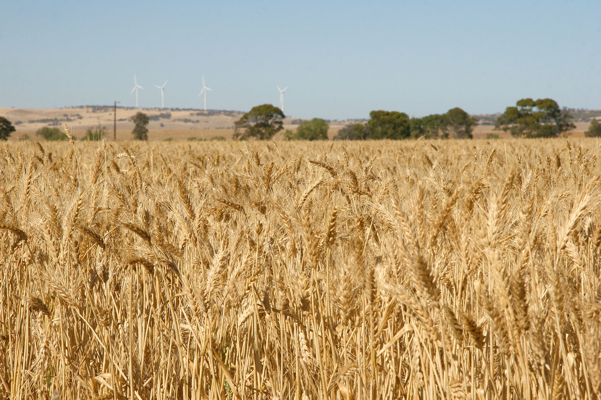 Wheat and windmills: a typical look of the area.