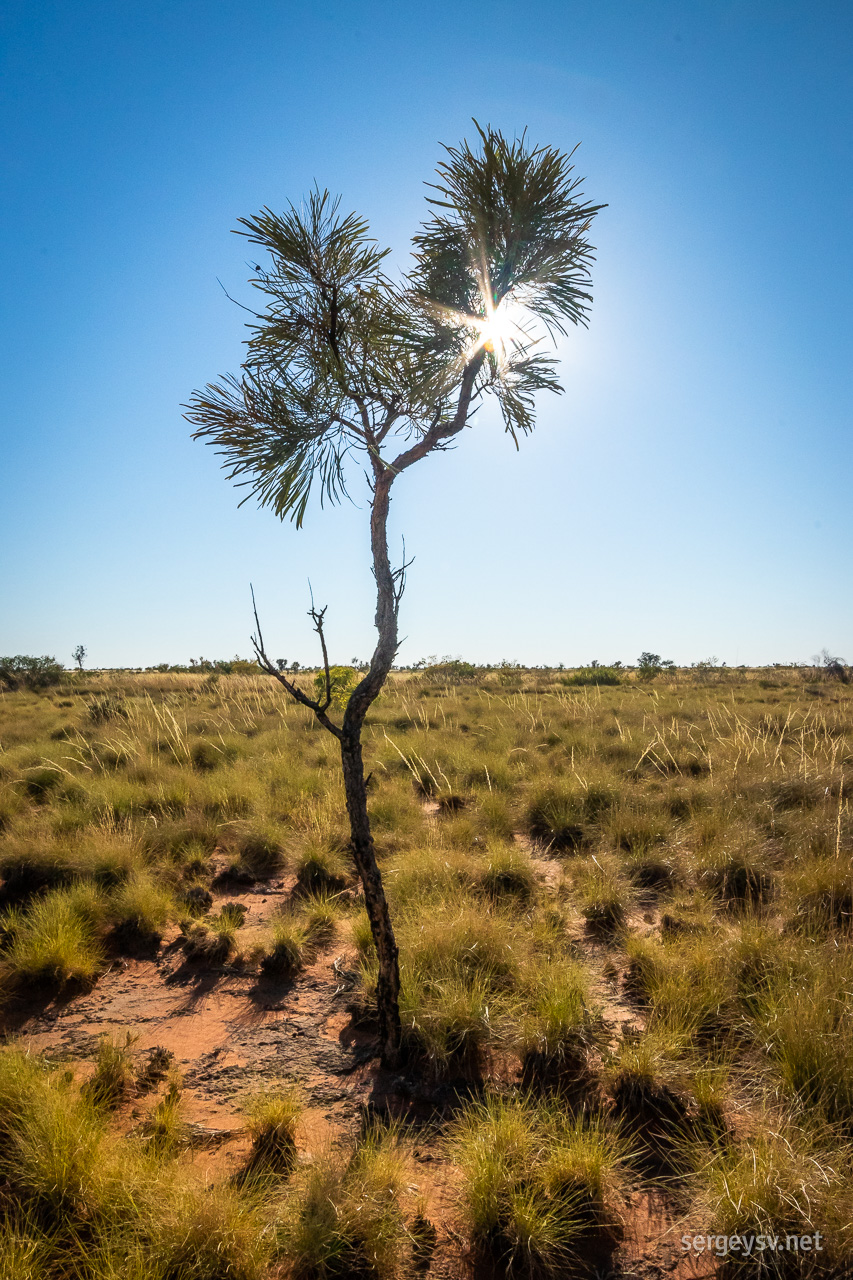 The small trees of the Tanami.