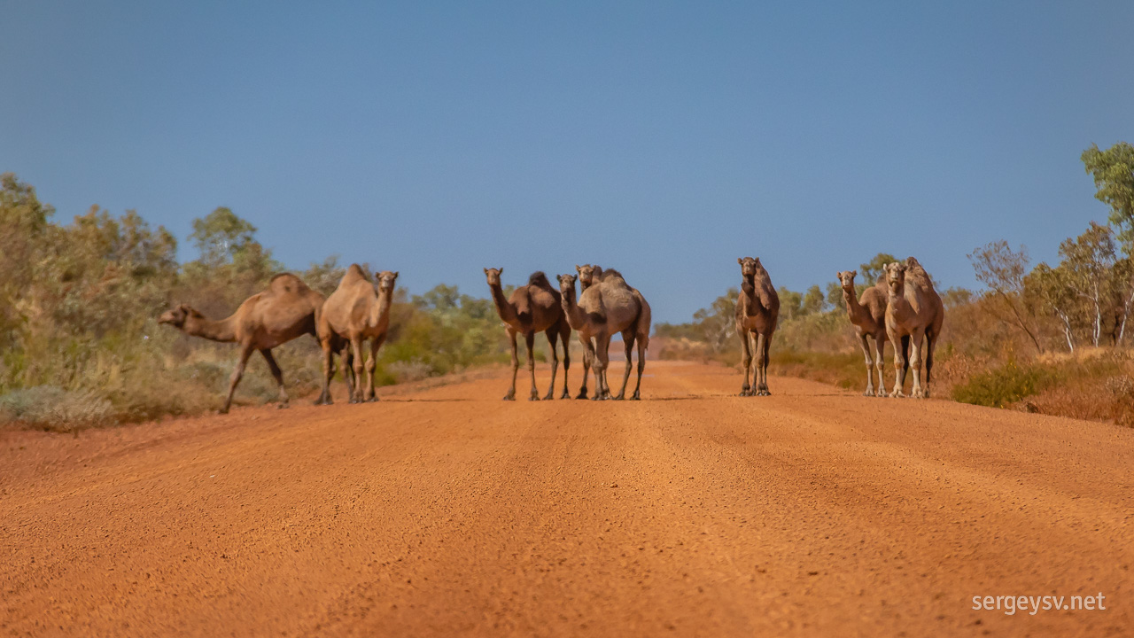 The rogue (and slightly out-of-focus) camels.